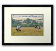 Plains zebras Framed Print
