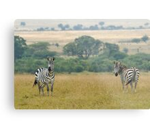Plains zebras Metal Print