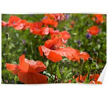 Poppies Compton Berkshire  Poster