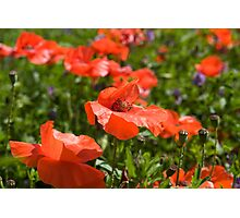 Poppies Compton Berkshire  Photographic Print