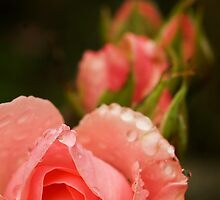 Pink roses in the rain by steppeland