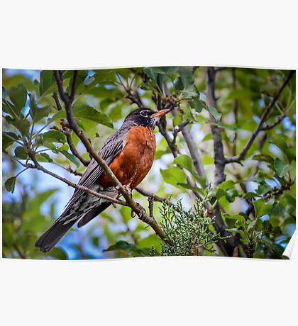 Robin in Apple Tree Poster