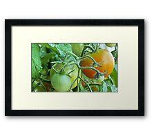 unripe tomatoes Framed Print