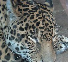 Jaguar by Tanya Shockman