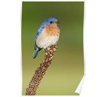 Male Eastern Bluebird on Mullein. Poster