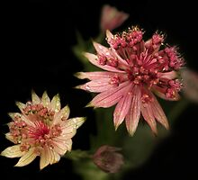 Astrantia Raindrops by steppeland