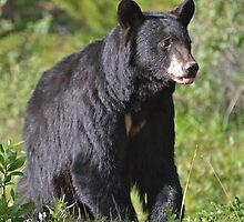 Mother Black Bear by Luann wilslef