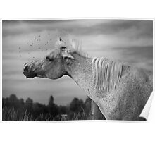 Arabian Horse with Flies Poster