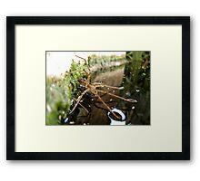 Nursery Web Spider (Tinus peregrinus) Framed Print
