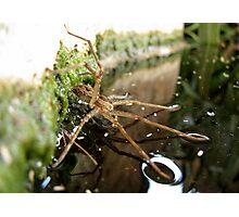 Nursery Web Spider (Tinus peregrinus) Photographic Print