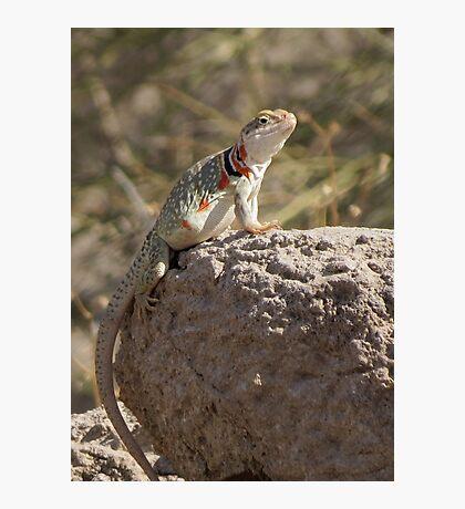 Eastern Collard Lizard (Gravid Female) Photographic Print