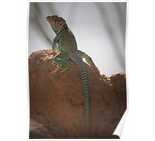 Eastern Collared Lizard (Male) Poster