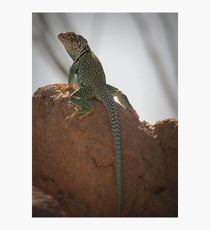 Eastern Collared Lizard (Male) Photographic Print