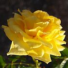 Yellow Rose by kalaryder