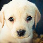 Labrador Retriever Puppy by GrishkaBruev