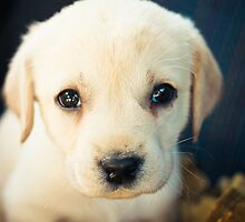 Labrador Retriever Puppy by GrishkaBruev