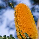 Ashby's Banksia (Banksia ashbyi) I by Adam Le Good