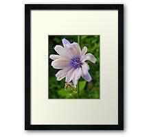 White Chicory Framed Print