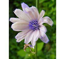 White Chicory Photographic Print