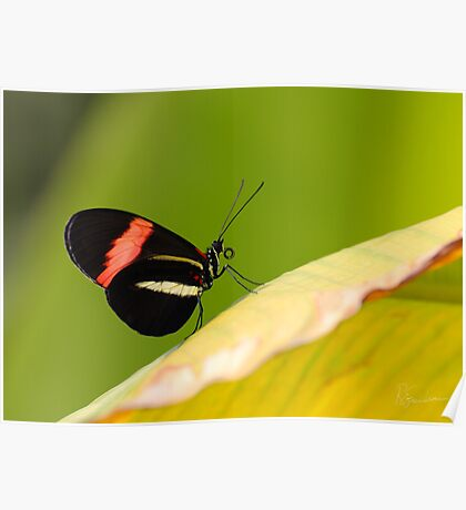 Butterfly - Climbing the hill Poster