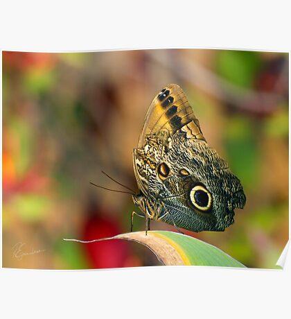 Butterfly - Caligo memnon Poster