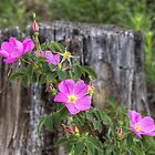 Colorado Wildflowers - A Wild Rose in the Mountains by RobGreebonPhoto