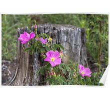 Colorado Wildflowers - A Wild Rose in the Mountains Poster