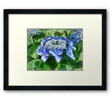 Blue Lace Cap Hydrangea Let's Dance Starlight Framed Print