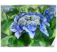 Blue Lace Cap Hydrangea Let's Dance Starlight Poster
