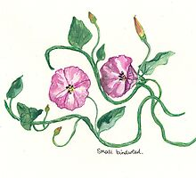 Small Bindweed by Sam Burchell