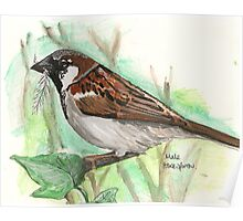 Male House Sparrow Poster
