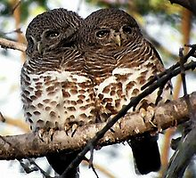 African Barred Owl Bird by Oldetimemercan