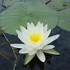 WATERLILY - NYMPHAEA ODORATA  by May Lattanzio