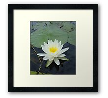 WATERLILY - NYMPHAEA ODORATA  Framed Print