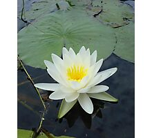 WATERLILY - NYMPHAEA ODORATA  Photographic Print