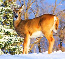 Winter Deer by LegaultPhotos