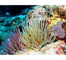 Caribbean Coral Reef Giant Sea Anemone group and Arrow Crab Photographic Print