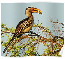 A Common Yellow Hornbill  Poster
