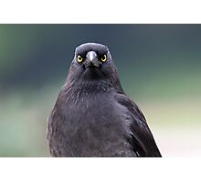 A Pied Currawong staredown ! Photographic Print