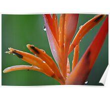 Orange Heliconia Poster
