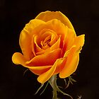Olympic Gold -  Rose by DPalmer