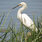 Snowy Egret by Kimberly Chadwick