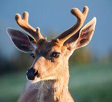 Black Tail Buck by Jim Stiles