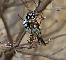 New Holland Honey Eater by Kym Bradley