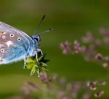 Common Blue Butterfly by Stephen Maxwell