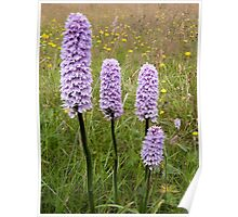 Common Spotted Orchid Poster
