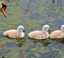 Mommy & her Cygnets by Debbie  Maglothin