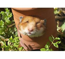 Hamster head Photographic Print