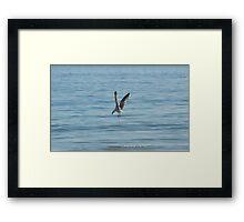 Diving Seagull Framed Print