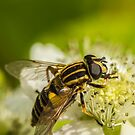 Hoverfly by Roger Hall
